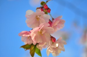 cc-licensed image 'Cherry Blossoms' by flickr user Zdenko Zivkovic